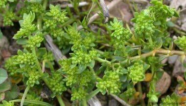Herniaria glabra y sus propiedades medicinales -Plantas