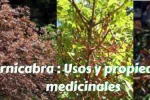 Cornicabra - Usos y propiedades medicinales