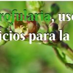Escrofularia y sus beneficios para la salud