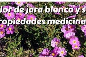 Flor de jara blanca y sus propiedades medicinales