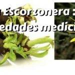Escorzonera : usos, beneficios y propiedades medicinales