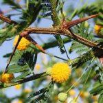 Acacia – espinillo : Propiedades medicinales