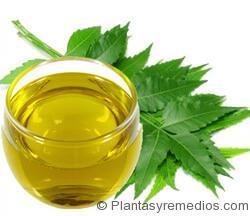 aceite de neem es bueno parea eliminar los chinches