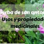 Hierba de san antonio : Usos y propiedades medicinales