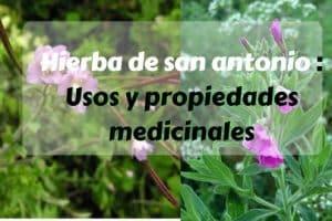 Hierba de san antonio - Usos y propiedades medicinales