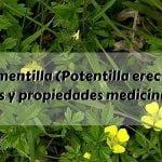 Tormentilla (Potentilla erecta) : Usos y propiedades medicinales