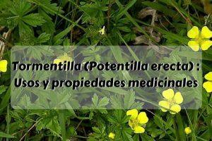 Tormentilla (Potentilla erecta) - Usos y propiedades medicinales