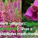 Dedalera – digital (Digitalis purpurea) : Usos y propiedades medicinales