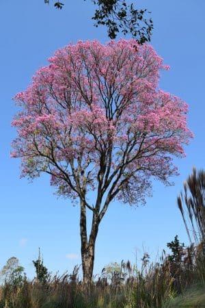 Lapacho rosado (Handroanthus impetiginosus)
