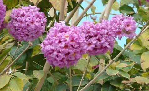 flores y hojas de lapacho rosado