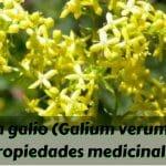 Planta galio y sus propiedades medicinales