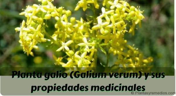 Planta galio y sus propiedades medicinales plantas for Planta decorativa con propiedades medicinales