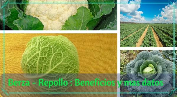Berza - Repollo - Beneficios y mas datos