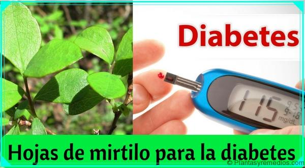 Hojas de mirtilo para la diabetes