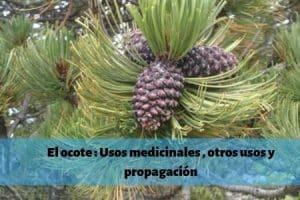 El ocote _ Usos medicinales , otros usos y propagación